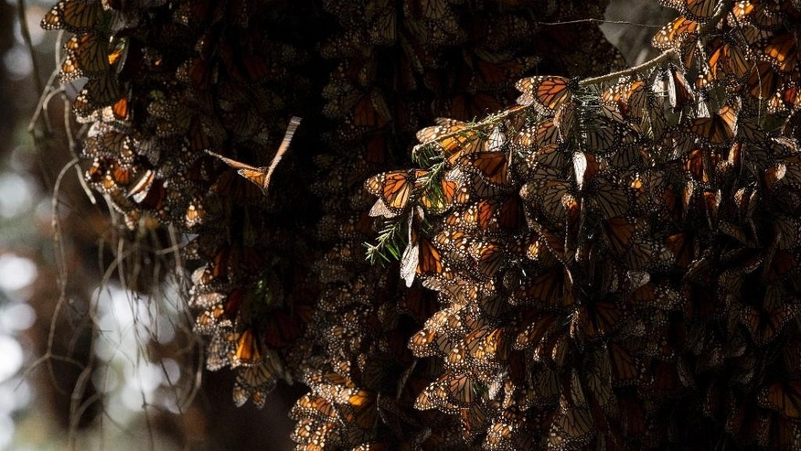 FILE - In this Jan. 4, 2015, file photo, rabbles of Monarch butterflies cling to tree branches, in the Piedra Herrada sanctuary, near Valle de Bravo, Mexico. Activists from Mexico, the United States and Canada have filed a request to the U.N. World Heritage Committee to place the Monarch Butterfly Reserve wintering sites on the list of sites considered in danger. (AP Photo/Rebecca Blackwell, File)
