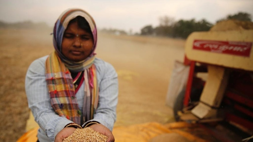 In this Tuesday, April 14, 2015 photo an Indian farmer woman displays wheat they harvested after their crop was damaged in unseasonal rain at Malaca village, outskirts of Allalhabad, Uttar Pradesh state, India. April is usually a time of celebration for millions of farmers across northern India. The winter wheat crop is ready to be harvested, and there's money to clear past debts and plan future planting.This year, however, unseasonal rain and hailstorms in March destroyed millions of acres of farmland in the region, leaving dozens of distraught farmers to kill themselves. (AP Photo/ Rajesh Kumar Singh)