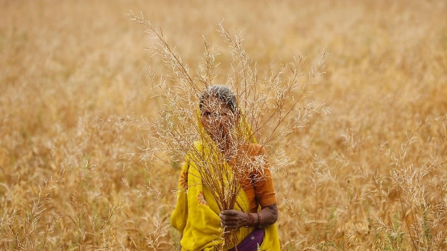 In this Tuesday, April 14, 2015 photo an Indian farmer woman shows mustard crop damaged in unseasonal rain at Malaca village, outskirts of Allalhabad, Uttar Pradesh state, India. April is usually a time of celebration for millions of farmers across northern India. The winter wheat crop is ready to be harvested, and there's money to clear past debts and plan future planting.This year, however, unseasonal rain and hailstorms in March destroyed millions of acres of farmland in the region, leaving dozens of distraught farmers to kill themselves. (AP Photo/ Rajesh Kumar Singh)