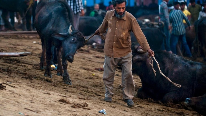 In this April 2, 2015 photo, a worker drags a buffalo after it is unloaded from a truck at Ghazipur slaughterhouse complex in New Delhi, India. India is the world's second-largest exporter of beef, but with the victory of Prime Minister Narendra Modi's Hindu nationalist Bharatiya Janata Party last year, the industry is facing tougher bans on slaughter. (AP Photo/Saurabh Das)