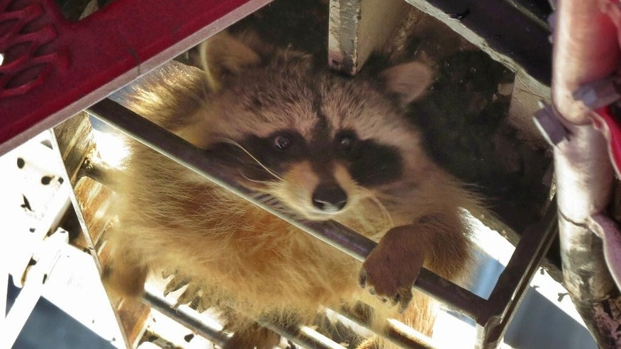 In this Thursday, April 16, 2015 photo provided by Robert MacFarlane, a raccoon climbs up a skyscraper in downtown Toronto. Social media was abuzz Thursday with the photo of the raccoon peering from between the metallic rungs of a crane 58 stories high. (Robert MacFarlane via AP)