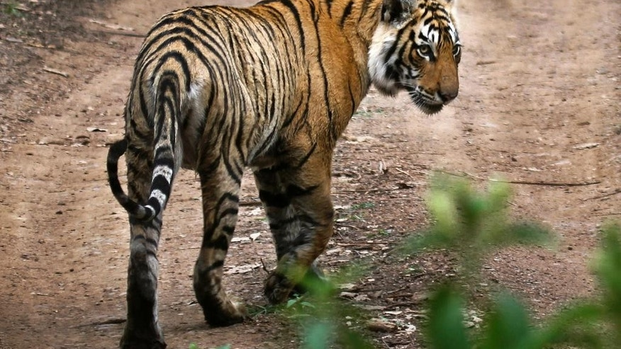 In this April 12, 2015 photo, a tiger walks at the Ranthambore National Park in Sawai Madhopur, India. India's tiger population has gone up 30 percent in just four years. The government lauded the news as astonishing evidence of victory in conservation. But independent scientists say such an increase - to 2,226 big cats - in so short a time doesn't make sense. They worry an enthusiastic new government under Prime Minister Narendra Modi is misinterpreting the numbers, trumpeting false claims of a thriving tiger population that could hurt conservation in the long run. (AP Photo/Satyajeet Singh Rathore)