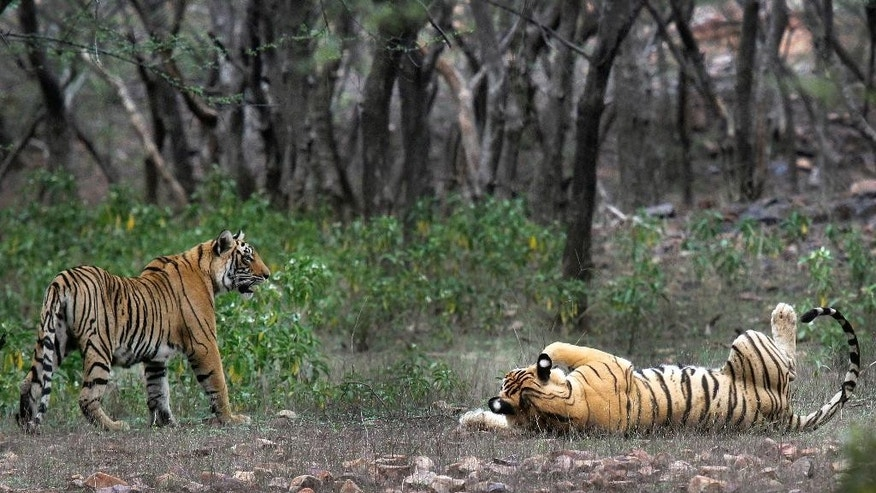 This April 12, 2015 photo shows tigers at the Ranthambore National Park in Sawai Madhopur, India. India's tiger population has gone up 30 percent in just four years. The government lauded the news as astonishing evidence of victory in conservation. But independent scientists say such an increase - to 2,226 big cats - in so short a time doesn't make sense. They worry an enthusiastic new government under Prime Minister Narendra Modi is misinterpreting the numbers, trumpeting false claims of a thriving tiger population that could hurt conservation in the long run. (AP Photo/Satyajeet Singh Rathore)