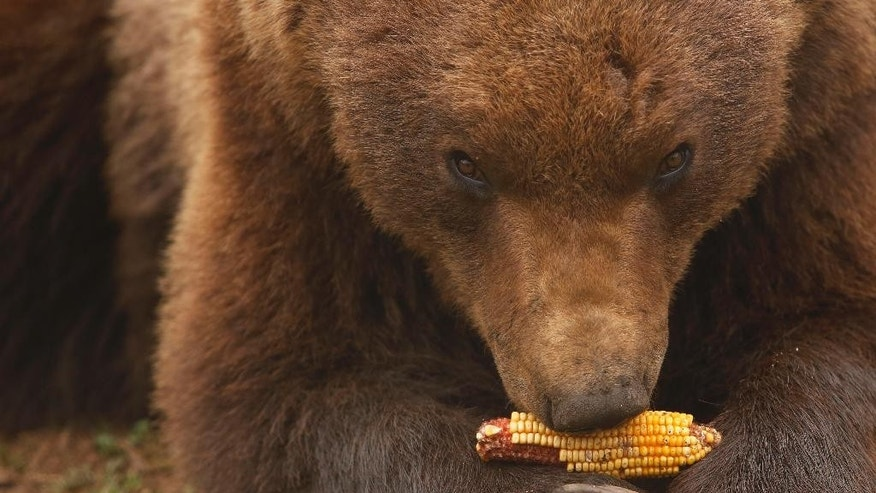 "In this photo taken on Saturday, April, 4, 2015, a bear chews on a corncob at a shelter that attracts hundreds of visitors and volunteers from around the world every year, in Kutarevo, Croatia. Over a decade ago, Ivan Crnkovic-Pavenka, a retired Croatian social worker decided to help bears become ""ambassadors of the wilderness"" among people and set up a unique shelter for brown bears in the idyllic mountain village of Kutarevo in central Croatia, where eight bears currently live in two huge enclosures.(AP Photo/Amel Emric)"