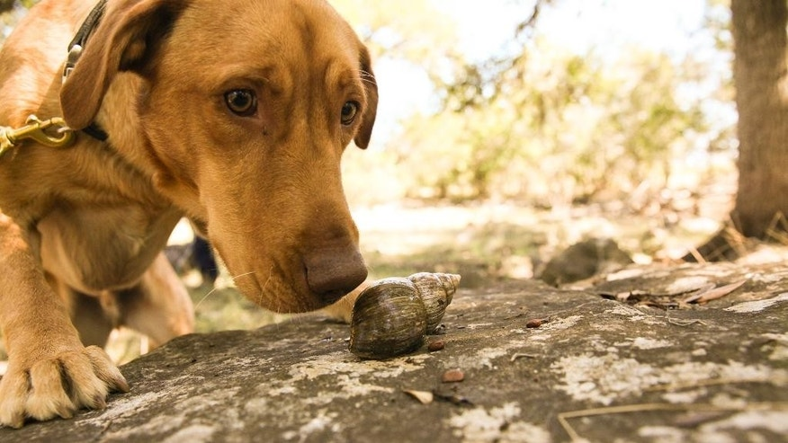 In this Oct. 25, 2014 photo, courtesy of Rebecca Ross, Darwin the Labrador retriever sniffs at a snail in while being trained in Texas. Darwin traveled in December from Texas to the the Galapagos island Santa Cruz. Darwin is one of two dogs selected to hunt the mollusk on the island, which is the largest species of snail found on land and can grow to 20 centimeters (7.8 inches) long.  (Rebecca Ross/Dogs for Conservation via AP)