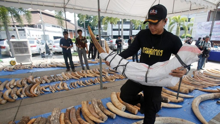 April 27, 2015 - A Thai Customs Department official arranges seized elephant tusks at their headquarters in Bangkok, Thailand. Thailand seized 3 tons of ivory  worth $6 million, hidden in tea leaf sacks from Kenya in the 2nd-biggest bust in the country's history.