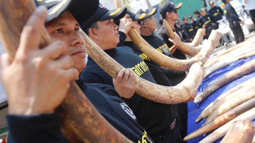 Thai Customs Department official display elephant tusks they seized to the media at their headquarters in Bangkok, Thailand, Monday, April 27, 2015. Thailand seized 3 tons of ivory hidden in tea leaf sacks from Kenya in the second-biggest bust in the country's history, one week after the biggest seizure, customs officials said Monday. The 511 elephant tusks worth $6 million, bound for Laos, were seized upon arrival Saturday at a major port in Chonburi province in eastern Thailand. The bust came after customs officials received a tip-off in Laos and Thailand and tracked the containers from Kenya, Customs Department Director-General Somchai Sujjapongse told reporters. (AP Photo/Sakchai Lalit)