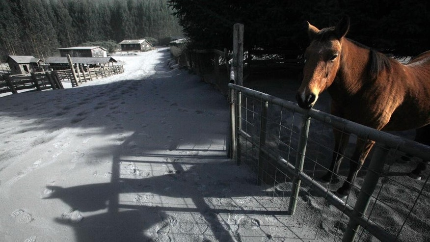 A horse stands on a farm covered in volcanic ash after the eruption of the Calbuco volcano in Puerto Varas, Chile, Friday, April 24, 2015. The volcano, which had been dormant for more than four decades, had two huge eruptions this week that sent ash across large swaths of southern South America. (AP Photo/Luis Hidalgo)