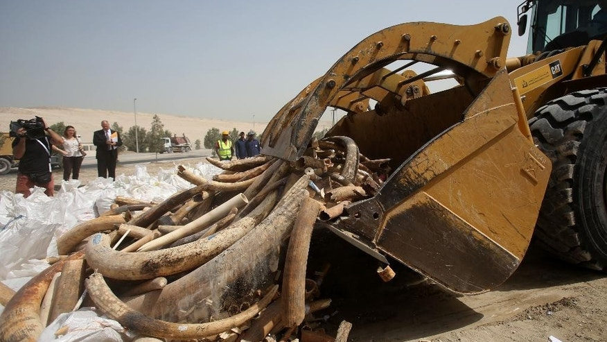 A construction digger collects Ivory as the United Arab Emirates authorities crush more than 10 metric tons, or about 11 U.S. tons of elephant tusks and ivory carvings confiscated in the Gulf nation to send a message against poaching, in Dubai, Wednesday, April 29, 2015. Dubai is not a major destination for smuggled ivory, but it is a key crossroads for the trade because of extensive air and sea links to Africa, Asia, Europe and the Mideast. (AP Photo/Kamran Jebreili)