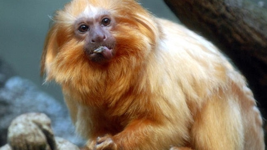 A golden lion tamarin.