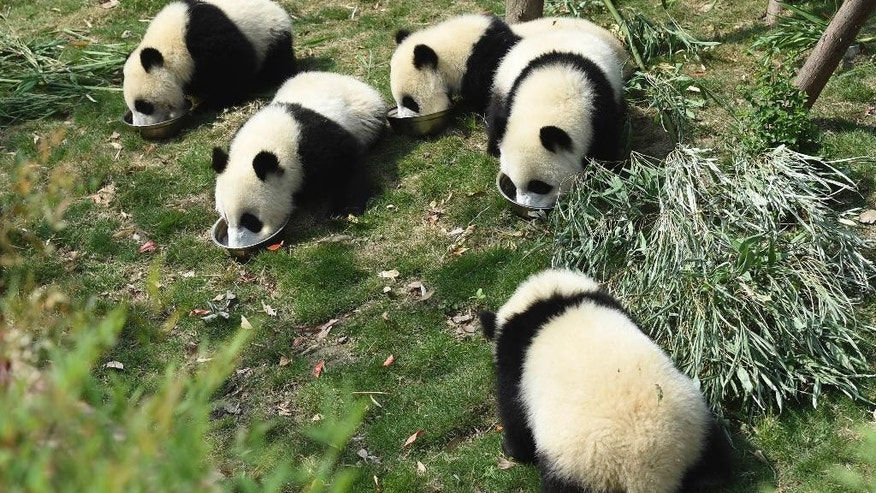 Five panda cubs eat special milk porridge served in separate bowls during feeding time at the Chengdu Panda Breeding Research Center in Chengdu in southwestern China's Sichuan province Wednesday, May 13, 2015. Police in southwestern China arrested 10 people for killing a female wild giant panda, buying and selling its parts, state media said Wednesday. The giant panda is an endangered species that tops China's list of protected animals. (Chinatopix via AP) CHINA OUT