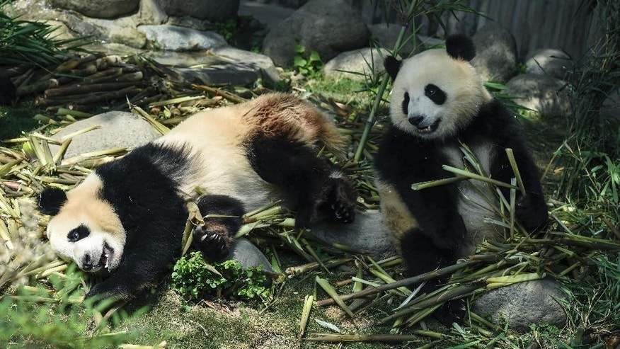 Female pandas eat bamboo at Chengdu Panda Breeding Research Center in Chengdu in southwest China's Sichuan province Wednesday, May 13, 2015. Police in southwestern China arrested 10 people for killing a female wild giant panda, buying and selling its parts, state media said Wednesday. The giant panda is an endangered species that tops China's list of protected animals. (Chinatopix via AP) CHINA OUT
