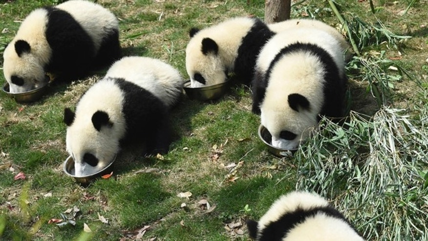 May 13, 2015: Five panda cubs eat special milk porridge served in separate bowls during feeding time at the Chengdu Panda Breeding Research Center in Chengdu in southwestern China' Sichuan province.