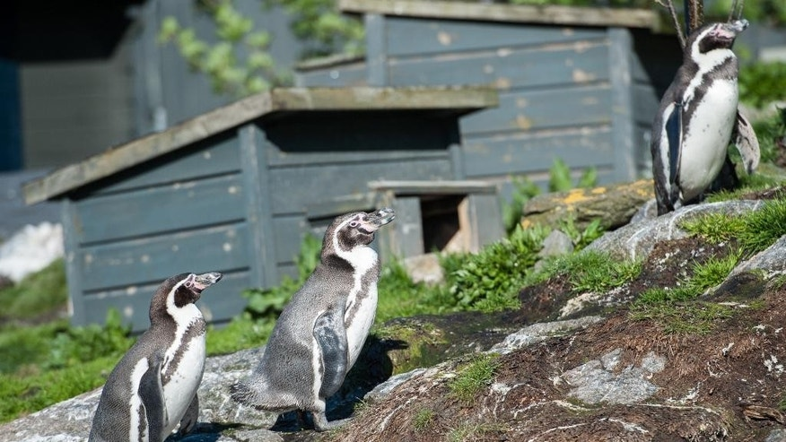 Humbolt penguins seen in their habitat at an aquarium in Aalesund on Norway's west coast, Friday May 15, 2015. Authorities say at least four Norwegian teenagers are suspected of stealing a Humboldt penguin egg and three newly-hatched babies from an animal park in mid-Norway. A police spokesman said Friday four have confessed trespassing but deny theft. They face fines or prison of up to one year if convicted. (Marius Simensen/NTB scanpix via AP)    NORWAY OUT