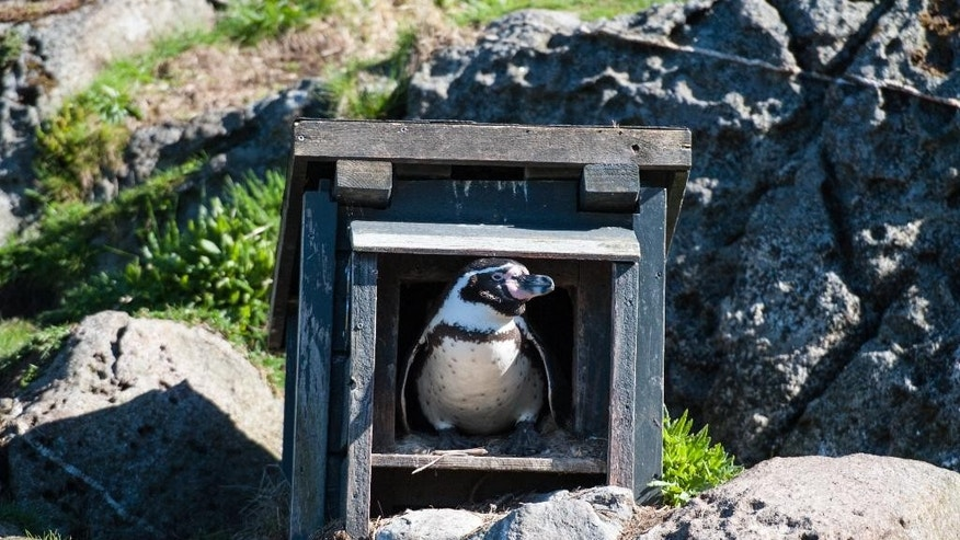 A Humbolt penguin is seen in its habitat at an aquarium in Aalesund on Norway's west coast, Friday May 15, 2015. Authorities say at least four Norwegian teenagers are suspected of stealing a Humboldt penguin egg and three newly-hatched babies from an animal park in mid-Norway. A police spokesman said Friday four have confessed trespassing but deny theft. They face fines or prison of up to one year if convicted. (Marius Simensen/NTB scanpix via AP)    NORWAY OUT