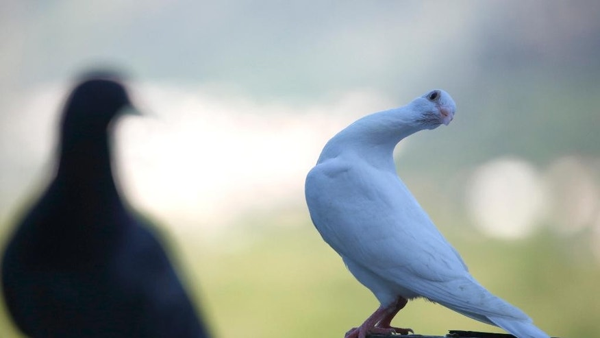 In this photo taken on Tuesday, May 12, 2015, white pigeons prepare to fly over the village of Ilici near Mostar, Bosnia and Herzegovina. Marin Cvitkovic, pigeon trainer and devoted Catholic, has been awarded an ultimate honor - his white messenger pigeons have been selected to be released by Pope Francis at his visit to Sarajevo beginning of June. (AP Photo/Amel Emric)