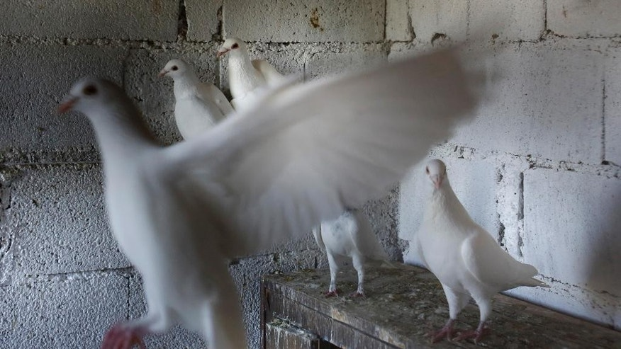 In this photo taken on Tuesday, May 12, 2015, white pigeons belonging to Marin Cvitkovic fly inside a coop in the village of Ilici near Mostar, Bosnia and Herzegovina. Marin Cvitkovic, pigeon trainer and devoted Catholic, has been awarded an ultimate honor - his white messenger pigeons have been selected to be released by Pope Francis at his visit to Sarajevo beginning of June. (AP Photo/Amel Emric)