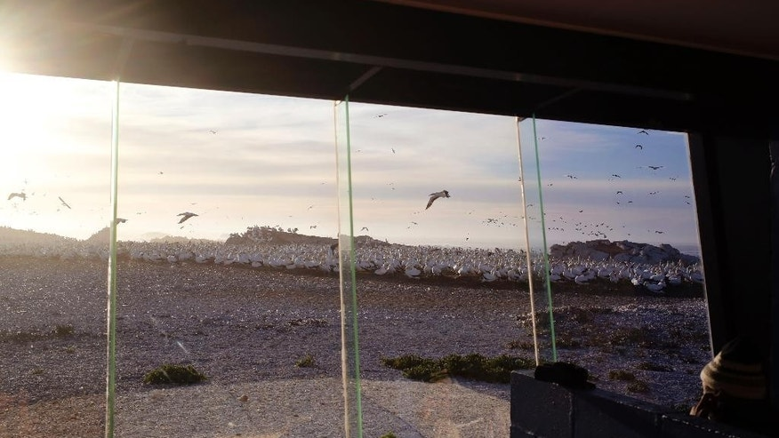 In this photo taken on Saturday, May 16, 2015, guide Yiseman Mompondo, right, studies thousands of gannet birds seen through the tinted window inside a  bird viewing hide on a island at the town of  Lambert's Bay, South Africa. Loud shrieking calls and the pungent smell of droppings from thousands of Cape gannet birds greet visitors to the Lambert's Bay Bird Island nature reserve off South Africa's west coast. (AP Photo/Schalk van Zuydam)