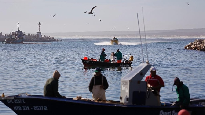 In this photo taken on Saturday, May 16, 2015,  boats filled with Snoek fish arrive at the bay to offload and sell their fish  in Lambert's Bay, South Africa. The boats line up along the jetty, bobbing in the cold south Atlantic waters, bringing in the day's catch in the early afternoon. The long silver snoek fish is one of South Africa's traditional foods, and a main source of income for the town of Lambert's Bay. (AP Photo/Schalk van Zuydam)