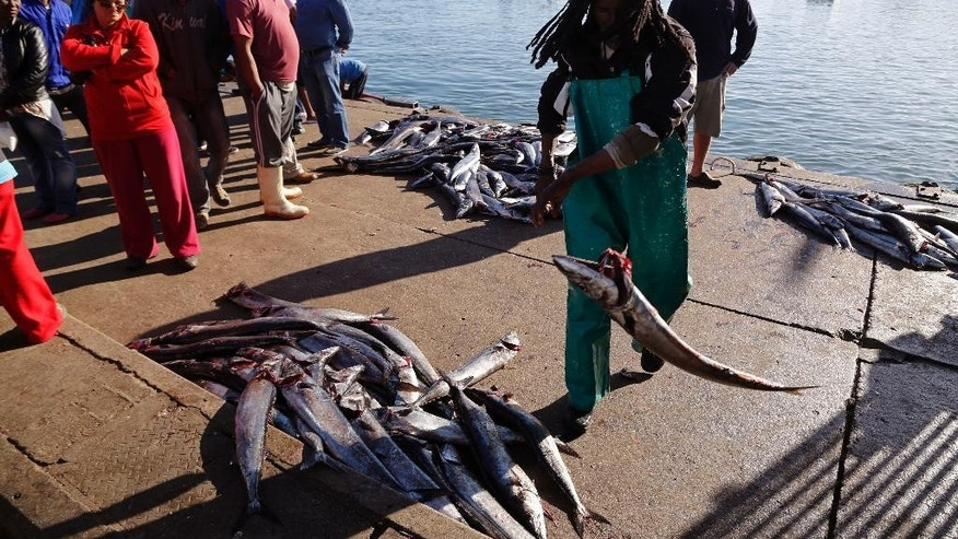 In this photo taken on Saturday, May 16, 2015, a man throws a Snoek fish after it was offloaded from a boat and before being sold to merchants in Lambert's Bay, South Africa.  The boats line up along the jetty, bobbing in the cold south Atlantic waters, bringing in the day's catch in the early afternoon. The long silver snoek fish is one of South Africa's traditional foods, and a main source of income for the town of Lambert's Bay. (AP Photo/Schalk van Zuydam)