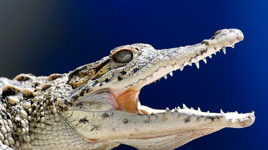 A young Cuban crocodile opens its jaws in a quarantined enclosure at the National Zoo in Havana, Cuba, Wednesday, May 27, 2015. Ten young female crocodiles were donated to Cuba by the Skansen Zoo in Stockholm where they were born and will be shortly returned to the Zapata swamp in central Cuba.  Former Cuban leader Fidel Castro made a gift of a couple of crocodiles in the 1980's to Soviet cosmonaut Vladimir Shatalov who donated them to the Zoo in Moscow which in turn donated them to Skansen Zoo. (AP Photo/Desmond Boylan)