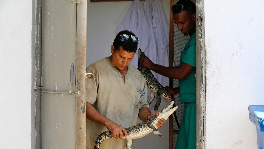 Doctors Alejandro Rodriguez, right, and Hiram Fernandez handle young Cuban crocodiles in a quarantined enclosure at the National Zoo in Havana, Cuba, Wednesday, May 27, 2015. Ten young female crocodiles were donated to Cuba by the Skansen Zoo in Stockholm where they were born and will be shortly returned to the Zapata swamp in central Cuba.  Former Cuban leader Fidel Castro made a gift of a couple of crocodiles in the 1980's to Soviet cosmonaut Vladimir Shatalov who donated them to the Zoo in Moscow which in turn donated them to Skansen Zoo. (AP Photo/Desmond Boylan)
