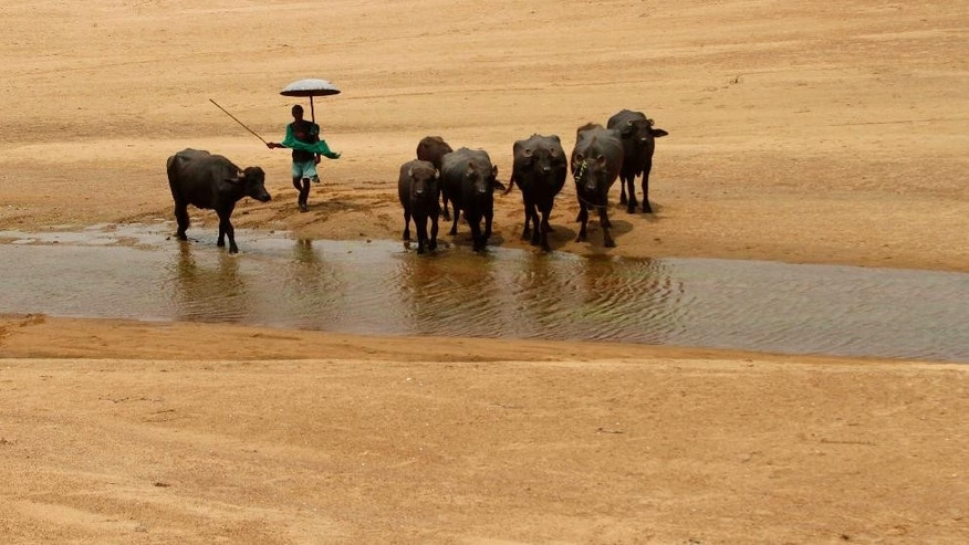 A villager herds his buffaloes as they enter the Daya River on a hot afternoon in the eastern Indian city of Bhubaneswar, India, Wednesday, May 27, 2015. In southern India, hundreds of people have died since the middle of April as soaring summer temperatures scorch the country, officials said Tuesday. (AP Photo/Biswaranjan Rout)