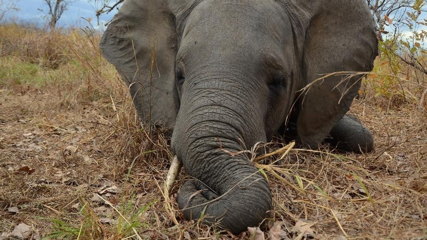 In this photo taken Sept. 6, 2014, provided byt by Wildlife Conservation Society a poached elephant lays in the Mozambican bush after been shot dead by poacher gunfire. Poachers slaughtering elephants in Mozambique cut their population almost in half from 2009 to last year, but in Uganda, elephant numbers are increasing as a result of anti-poaching measures, according to aerial surveys. (Alastair Nelson/Wildlife Conservation Society via AP)