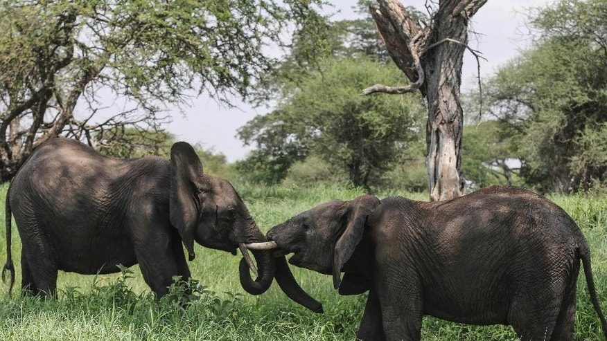 FILE - In this file photo taken Friday, Jan. 16, 2015, African elephants interact in Tarangire National Park on the outskirts of Arusha, northern Tanzania. The sharp decline of the elephant population in Tanzania, most likely due to poaching, is catastrophic, a wildlife conservation group said Tuesday, June 2, 2015. The Tanzanian government on Monday estimated that 65,721 elephants have died in the country in the last five years. The report showed the number of Tanzanian elephants plummeting from an estimated 109,051 in 2009 to 43,330 in 2014. (AP Photo/Mosa'ab Elshamy, File)