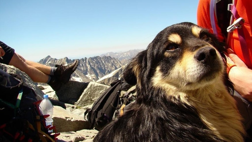June 5, 2015: This photo shows a dog who was abandoned on Poland's highest mountain, Rysy, in the Tatra mountains, possibly taken there to die, and discovered on Friday.