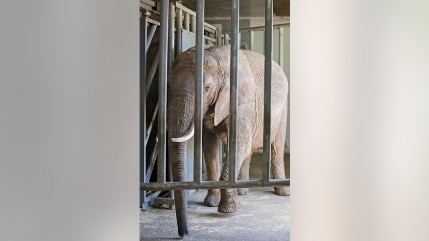 "Female elephant ""Baby"",  stand in her new enclosure in the Safaripark  in  Schloss Holte-Stukenbrock, western Germany Monday June 16, 2015. The elephant that escaped from a German circus and killed a man has successfully been relocated to a safari park and officials there say she's showing no signs of aggression. The 34-year-old African elephant named ""Baby"" on Saturday killed a 65-year-old man who was walking in the woods near Buchen, in southwestern Germany. Police said Monday they were still investigating whether someone forgot to close her cage or if she was intentionally released. ( Friso Gentsch/dpa, via AP)"