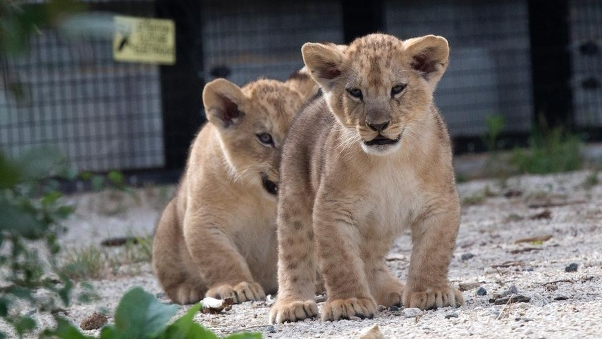 Two of the three cubs stand during their first walk outside, Friday, June 26, 2015 at the Vincennes zoo in Paris, France. The three cubs were born on April 22, 2015. (AP Photo/Michel Euler)