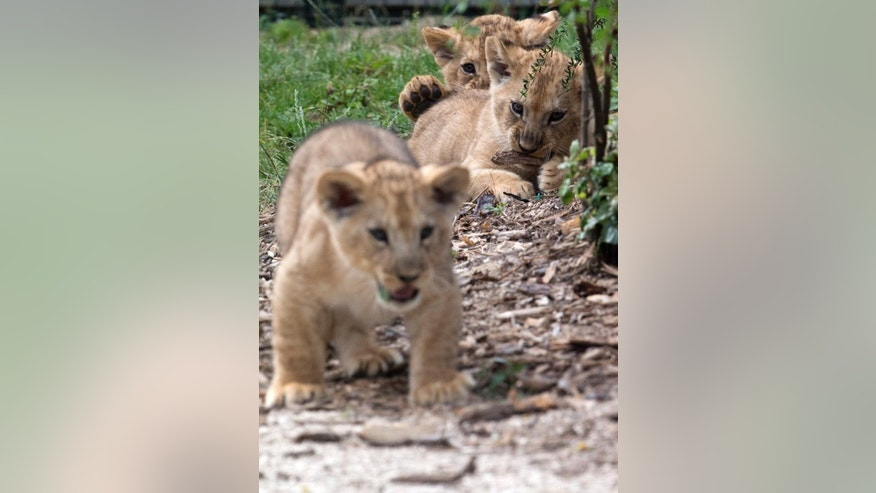 The three cubs Atlas, Kibo, and Shani play during their first walk outside, Friday, June 26, 2015 at the Vincennes zoo in Paris, France. The three cubs were born on April 22, 2015. (AP Photo/Michel Euler)