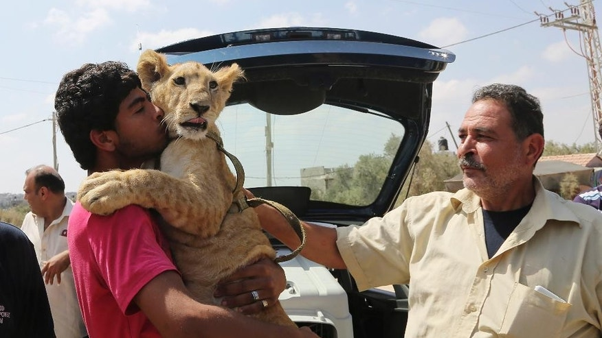 Ibrahim Al-Jamal, 17, hugs Mona, the female lion cub, as his father Saduldin, 54, strokes her as they wait to evacuate from Gaza to the Erez border crossing between Israel and the Gaza Strip, in Beit Hanoun, in the northern Gaza Strip, Friday, July 3, 2015. A pair of lion cubs are stuck at a Gaza-Israel border crossing en route to a Jordan animal sanctuary, after being kept for a year by a family in crowded Gaza. Saduldin al-Jamal had bought the cubs from the Gaza zoo, hit during last summer's Israel-Hamas war. His family would take them to parks or the beach and children — those brave enough — would come up to pet them. (AP Photo/Adel Hana)