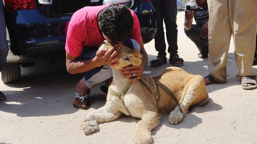 Ibrahim Al-Jamal, 17, kisses Mona, a female lion cub, waiting to evacuate from Gaza to the Erez border crossing between Israel and the Gaza Strip, in Beit Hanoun, in the northern Gaza Strip, Friday, July 3, 2015. A pair of lion cubs are stuck at a Gaza-Israel border crossing en route to a Jordan animal sanctuary, after being kept for a year by a family in crowded Gaza. Saduldin al-Jamal had bought the cubs from the Gaza zoo, hit during last summer's Israel-Hamas war. His family would take them to parks or the beach and children — those brave enough — would come up to pet them. (AP Photo/Adel Hana)