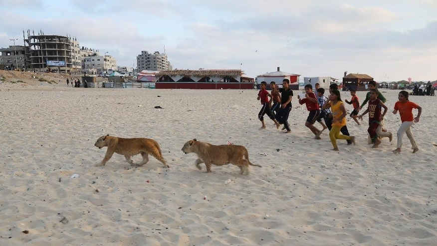 In this Monday, June 15, 2015 photo,  lion cubs Mona and Max walk as children run next to them at the beach of Gaza City, in the northern Gaza Strip. Saduldin al-Jamal had bought the cubs from the Gaza zoo, hit during last summer's Israel-Hamas war. His family would take them to parks or the beach and children — those brave enough — would come up to pet them. (AP Photo/Adel Hana)