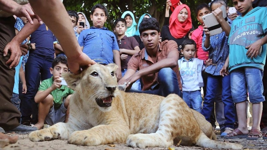 In this Monday, June 15, 2015 photo, Palestinians gather around Mona, a female lion cub, while Ibrahim Al-Jamal, 17, her at the main garden in Gaza City, in the northern Gaza Strip. Saduldin al-Jamal had bought the cubs from the Gaza zoo, hit during last summer's Israel-Hamas war. His family would take them to parks or the beach and children — those brave enough — would come up to pet them. (AP Photo/Adel Hana)