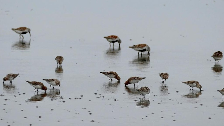 In this May 2015 photo, provided by the Pukorokoro Miranda Shorebird Centre, birds stand in the mud flats in Nampo, North Korea. A trip by a New Zealand research team near Nampo, southwest of the North Korean capital, Pyongyang, underscores some tentative but significant progress by outside scientists to conduct small-scale research projects in North Korea. (Adrien Riegen/Pukorokoro Miranda Shorebird Centre via AP) NO ARCHIVING; NO LICENSING