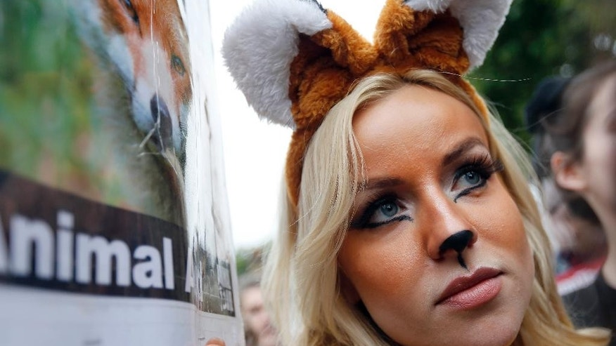 A protestor dressed as foxes demonstrates in front of the Houses of Parliament in London, Tuesday, July 14, 2015 urging policymakers to keep Britain humane by keeping the Hunting Act intact. The government has called off the scheduled vote for Wednesday on fox hunting. (AP Photo/Frank Augstein)