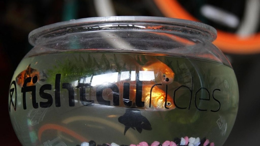 "In this photo taken Thursday, July 9, 2015 fish swim around inside a bowl at the Melville, Johannesburg cycle shop nicknamed, ""The Fishbowl"".   The venue, a combination bar-come-cycle workshop,  is where a small crowd of stylish 20-somethings, who call themselves Fixin Diaries, prepare to set off on a weekly cycle to improve the sagging image of cycling among blacks. (AP Photo/Courtney Quirin)"