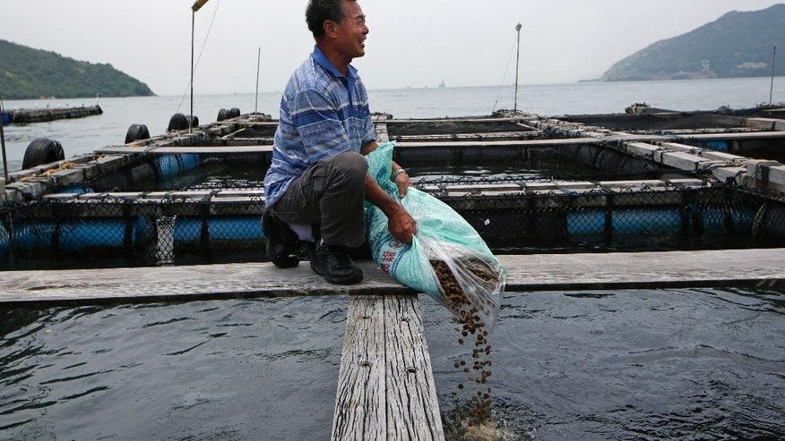 In this July 7, 2015 photo, Lai Tak-chuen, a fish farmer, pours pellets from a 20 kilogram bag into one of his pens as saba, or mackerel in his fish farm in Ma Wan of Hong Kong. Lai, who has served on three election committees since 2000, reflected on how his business has recovered after the so-called Umbrella Movement protests, which gripped Hong Kong from late September to mid-December.  (AP Photo/Kin Cheung)