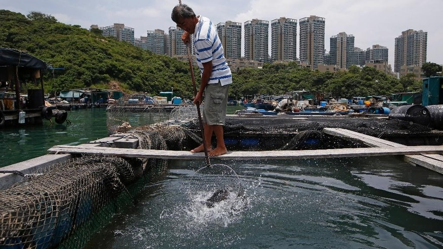 In this July 7, 2015 photo, Hong Kong fisherman Lai Kam-shing catches a fish in his farm in Ma Wan of Hong Kong, Tuesday, July 7, 2015. Since China took control of Hong Kong from Britain in 1997, the city's billionaires have played a leading role in hewing the Asian financial center to Beijing's priorities. So too have a dwindling band of fishermen and farmers. (AP Photo/Kin Cheung)