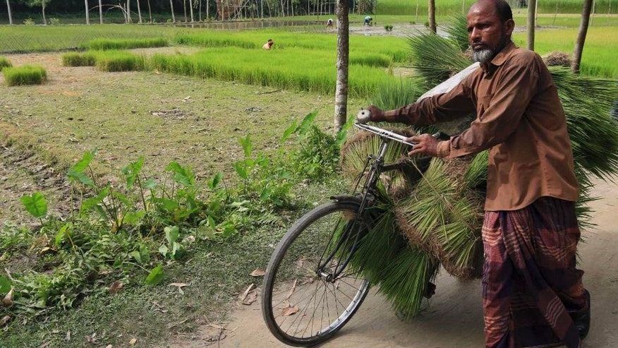 A villager carries harvested rice on his cycle at Dashiachora, in Kurigram enclaves, Bangladesh. Bangladesh and India are going to officially exchange the adversely possessed enclaves Friday midnight where the two neighboring countries will implement the Land Boundary Agreement in line with a deal signed in 1974. (AP Photo)