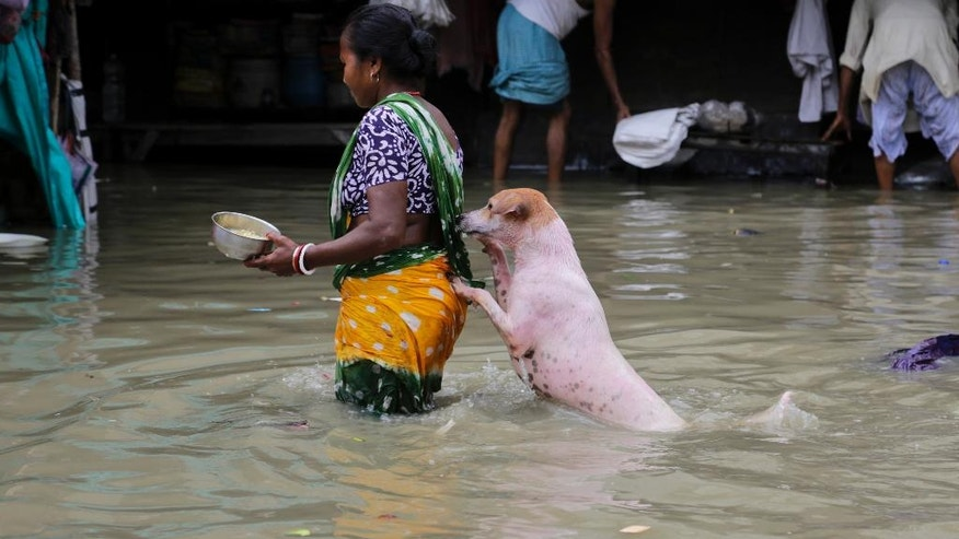 A stray dog takes the support of a woman to cross a flooded street in Kolkata, India, Sunday, Aug. 2, 2015. Parts of the city were flooded Sunday after water from the Ganges river rose following monsoon rains. (AP Photo/ Bikas Das)