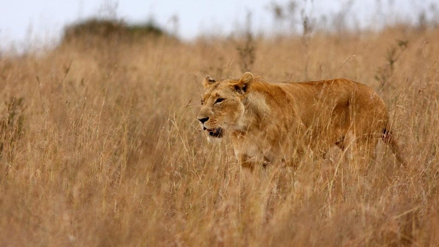 This handout photo provided by Stuart Pimm shows a lion in Kenya. The circle of life is closing in on the king of the jungle. When a Minnesota dentist killed famed Cecil the lion, the Internet exploded with outrage. But scientists who have studied lions have seen it before. They've watched the African lion population shrink by more than half since 1980 and dwindle even faster in East Africa where lions used to be most abundant. They've seen trophy hunting, like the dentist's, promise to spur lion conservation with influxes of lots of cash, then not work as planned. And even more importantly, they've seen lion habitat shrink and lions be killed by local residents because of conflict with livestock and agriculture.(Stuart Pimm via AP)