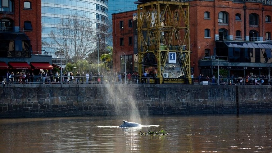 People watch a lost whale in Puerto Madero, Buenos Aires, Argentina, Monday, Aug. 3, 2015. Authorities have not identified what kind of whale it is, and it was unclear how they would get it back to the ocean. News of it quickly spread on social media and the news, prompting hundreds to line up along the port area to catch a glimpse. (AP Photo/Natacha Pisarenko)