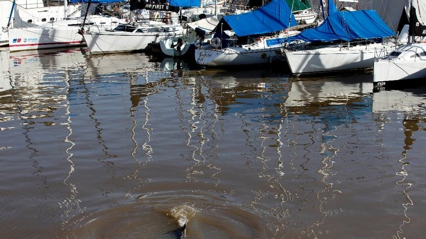 A lost whale swims near boats in Puerto Madero, Buenos Aires, Argentina, Monday, Aug. 3, 2015. The whale appeared in a port of one of Buenos Aires' most exclusive neighborhoods, periodically surfacing alongside luxury yachts while attracting hundreds of onlookers. (AP Photo/Natacha Pisarenko)