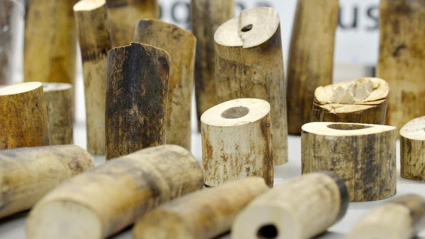 Confiscated Ivory displayed at Zurich Airport in Kloten , Switzerland on Tuesday, Aug. 4 , 2015. Swiss authorities say customs officials at Zurich airport have seized 262 kilograms (578 pounds) of ivory that three Chinese men had dispatched from Tanzania. Switzerland's customs authority said Tuesday that the ivory — found during a security check on July 6 and packed in eight suitcases — had an estimated black market value of about 400,000 francs (US $413,000). (Walter Bieri/Keystone via AP)