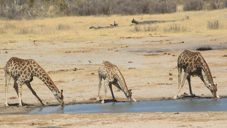 Giraffes drink water from a water point near where Cecil the lion crossed when he was lured onto a farm in an alleged illegal hunt in Hwange about 700 kilometres south  west of Harare, Zimbabwe, Thursday, Aug. 6, 2015. Cecil had to cross only a set of railroad tracks to go from a protected area to a kill zone. The killing the Lion by an American hunter triggered outrage far beyond Zimbabwes borders and has strengthened resolve to enforce regulations governing hunting. (AP Photo/Tsvangirayi Mukwazhi)