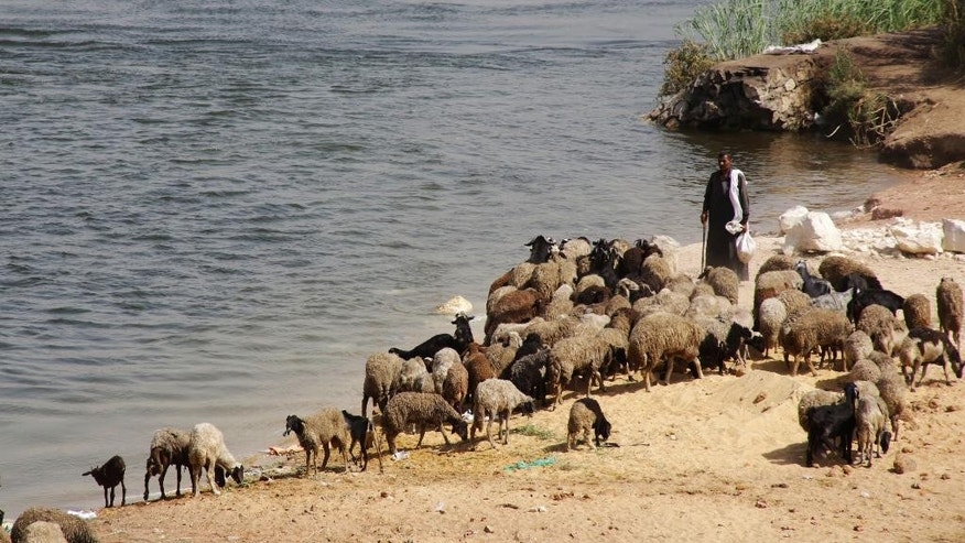 An Egyptian shepherd leads his sheep as they drink water from the Nile river in Cairo, Egypt, Tuesday, Aug. 11, 2015. Egyptian health authorities said at least 40 people have died in the last two days amid a scorching heat wave hitting the country. (AP Photo/Amr Nabil)